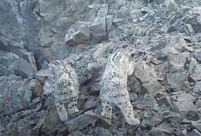 VIDEO Se toma una selfi cachorro de leopardo de las nieves en Rusia