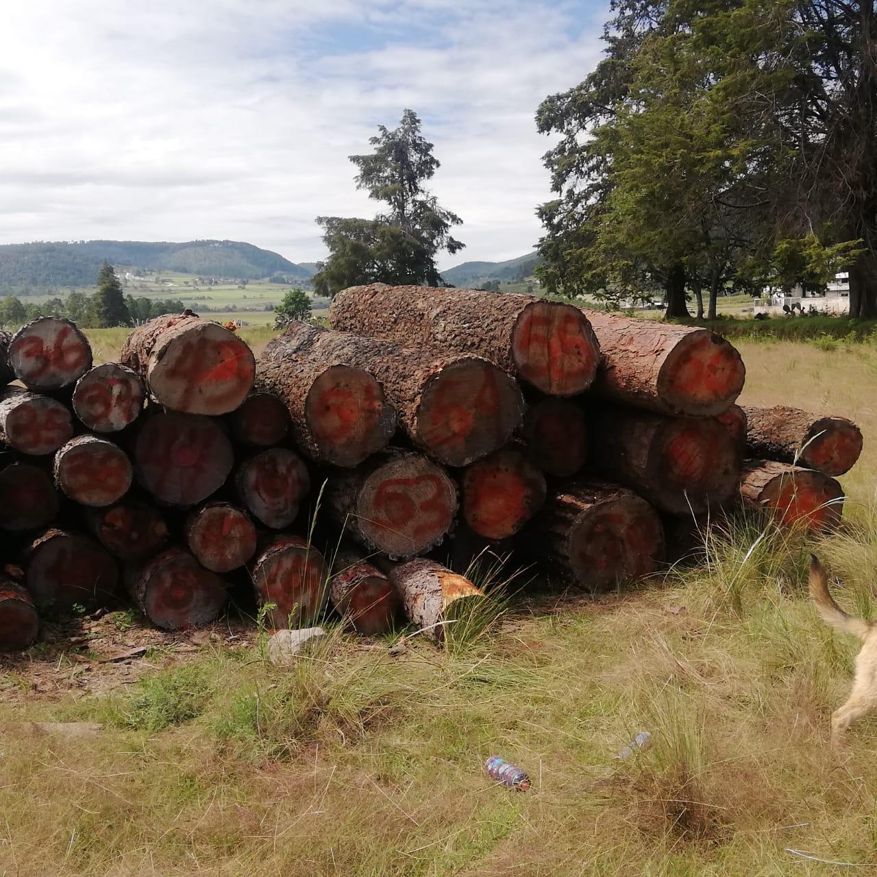 Por tala ilegal, cayó el Mil Amores en Ahuazotepec