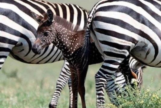 Nace peculiar cebra con manchas en lugar de rayas