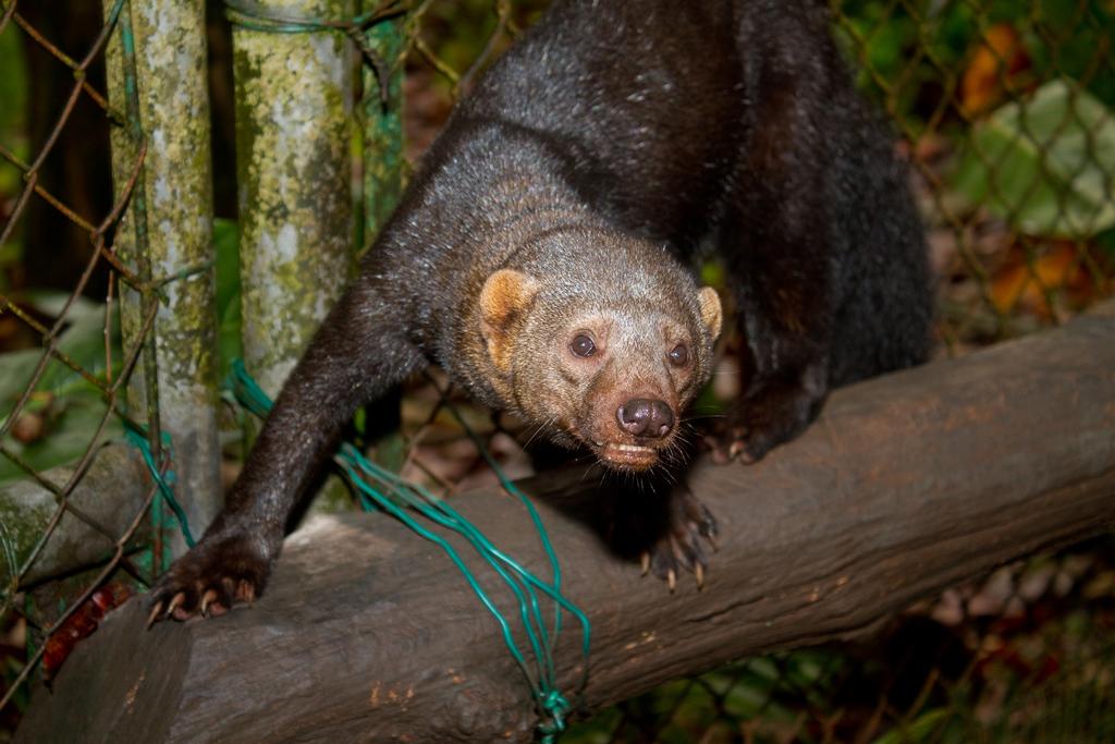 Jauría mata a especie en extinción en Huauchinango