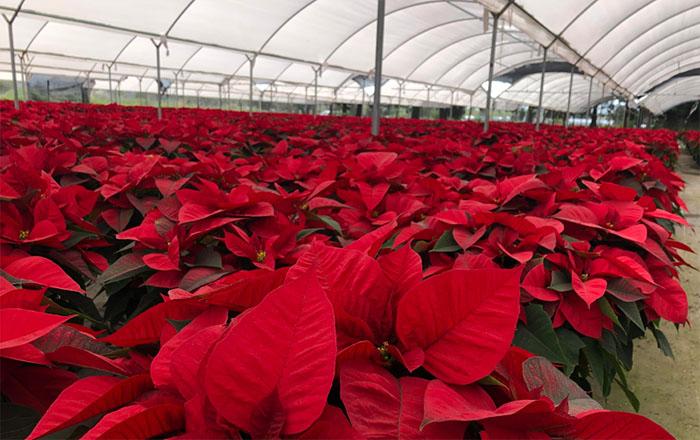Viveros de Atlixco moderarán visitas en época navideña