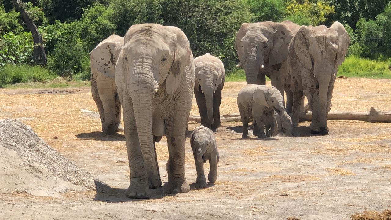 VIDEO Conoce a los 2 bebés elefantes nacidos en Africam Safari