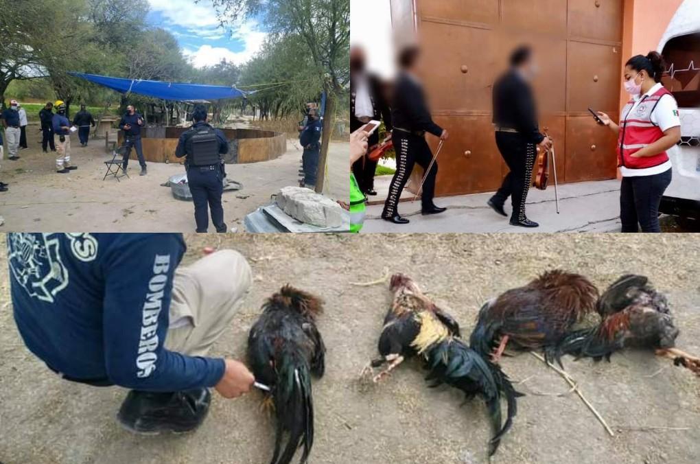 Con peleas de gallos y mariachi desafían al Covid en Tehuacán