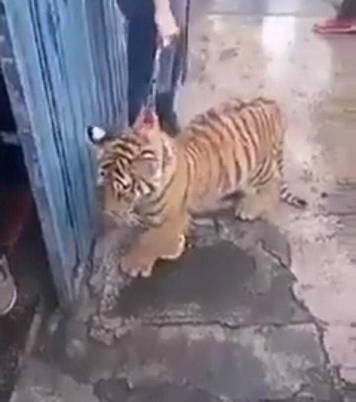 Instruye Barbosa a SMA localizar a tigre en La Libertad